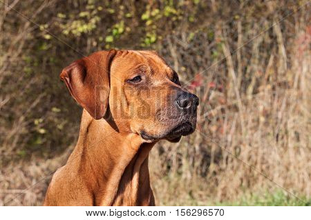 Sad dog eyes. Rhodesian ridgeback portrait. Beautiful Rhodesian ridgeback dog portrait. Looking into the eyes of the dog.