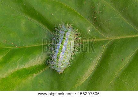 Closeup Caterpillar On Leaf