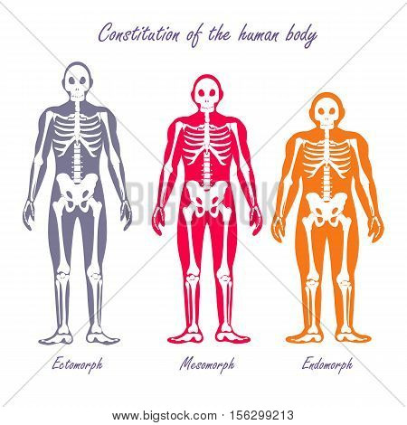 Human body constitution vector concept. Flat design. Anthropological anatomy scheme. Skeletons with muscle color silhouettes. Ectomorph, mesomorph, endomorph people somatotypes illustration. On white