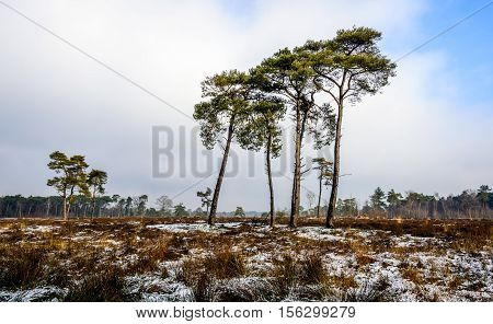Tall scots pines growing in a Dutch nature reserve covered with a small layer of snow. It is a cloudy day in the winter season.