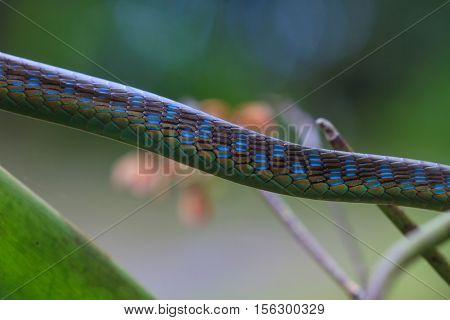Macro Of Painted Bronzeback Snake