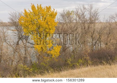 A tree with yellow leaves while the rest are bare during autumn.
