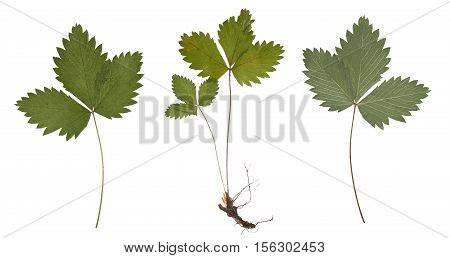 Dried strawberry branch with the root isolated. Extruded pressed strawberry leaves. Herbarium. It can be used as an element for scrapbooking, decorations and books on botany.