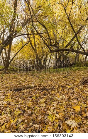 A forest with a layer of leaves on the ground.