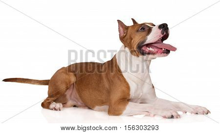 american staffordshire terrier dog posing on white
