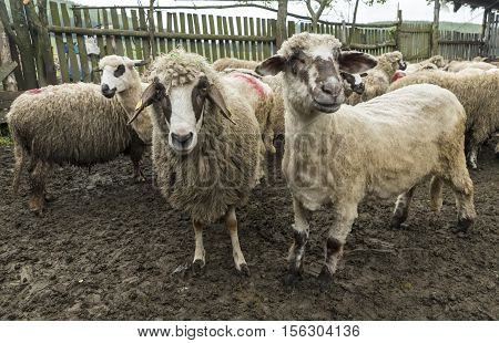 Sheep in a farmhouse posing for photographer