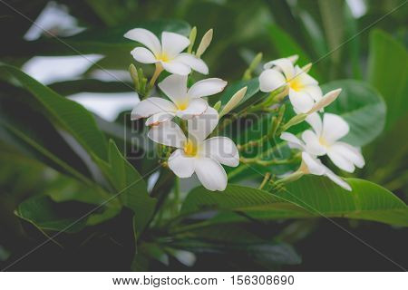 Sweet scent from white Plumeria flowers in the garden. Plumeria flowers in nature.(selective focus, vintage effect)