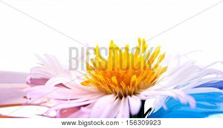 Flower Bushy aster it is isolated on a white background