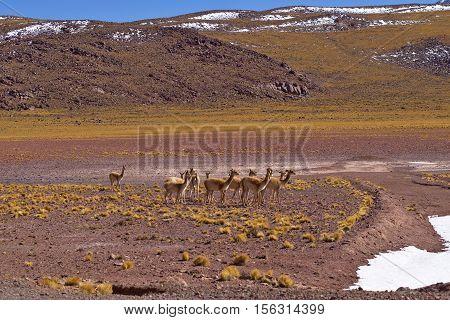 Herd Of Vicugnas (vicugna Vicugna)