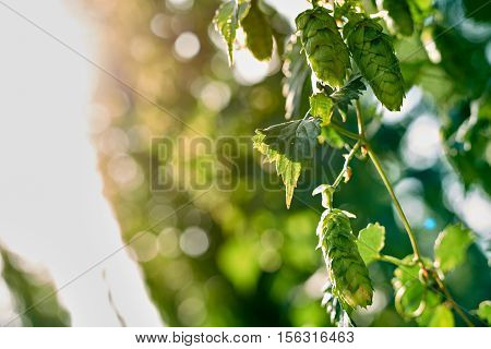 Ripe hop cones in the hop field with sun beam backlit. Beer production material.
