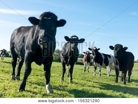Group of un-tag agriculture organic cowsclose up black and white in a green grass field shot at an angle ground level with them looking into the camera. Copy space at bottom of the image