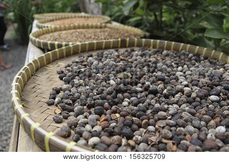 Luwak Coffee Beans drying in the basket in coffe plantation in Ubud Bali