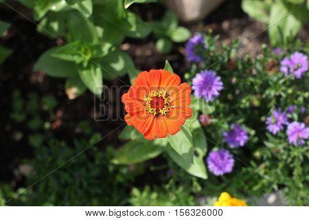 Flowers / Beautiful Zinnia in the garden