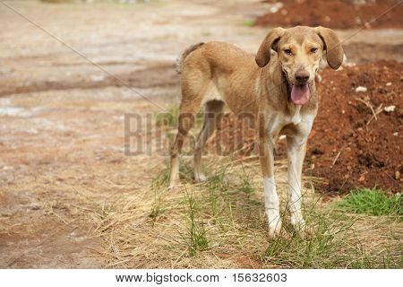 Very poor and thin alley dog in Greece