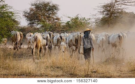 Cows Walking On Dusty Road At Sunset