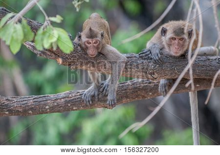 Macaque monkeys in the jungle of Sam Roi Yot National Park south of Hua Hin in Thailand