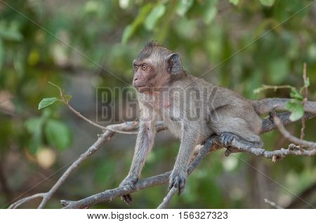 Macaque monkey in the jungle of Sam Roi Yot National Park south of Hua Hin in Thailand