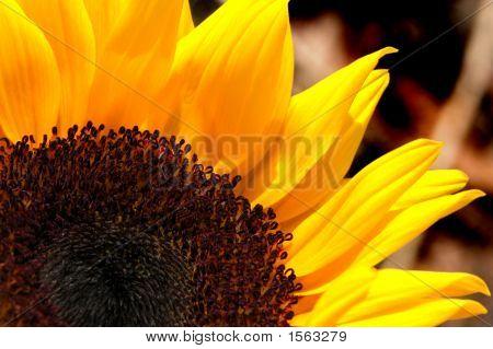Sunflower (Helianthus Annuus) In The Garden