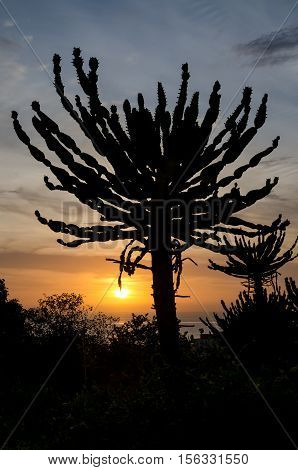 Silhouette of impressive Candelabrum Cactus with sunset in Angola. Photo take at the Sao Miguel fortress in Luanda.