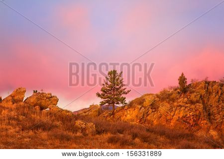 A lone pine tree stands alone at the Devils Backbone open space in Loveland Colorado during a beautiful pink sunrise