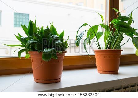 sansevieriya and spathiphyllum stand on the windowsill in room