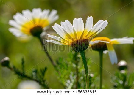 White marguerite living in the wild nature