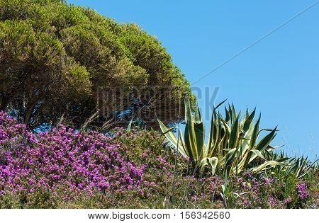 Agave Plant And Purple Flowers.