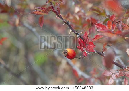 Ripe Briar fruit, wild rosehip shrub in nature. Dog-rose berry close-up.