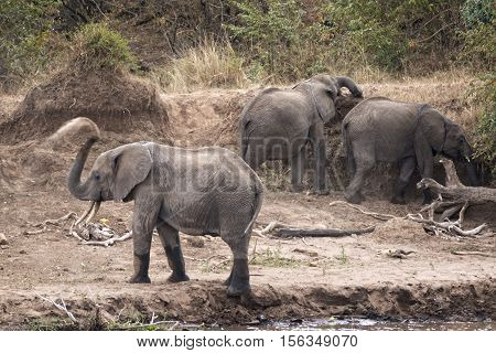 Group of African young elephants (Loxodonta africana) at watering point on Mara River Kenya