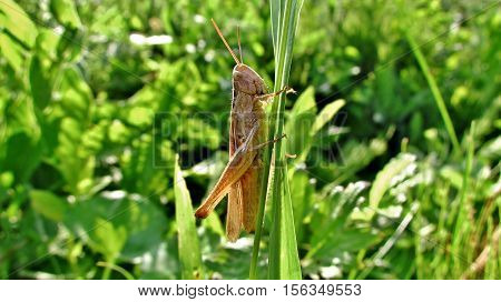 grasshoppers green lurking in the grass on the lawn