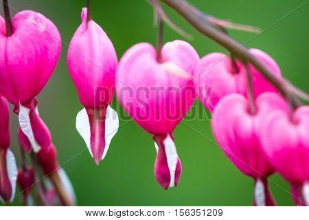 Bleeding Hearts - Lamprocapnos Spectabilis