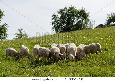Flock of sheep on a flower meadow with succulent green grass