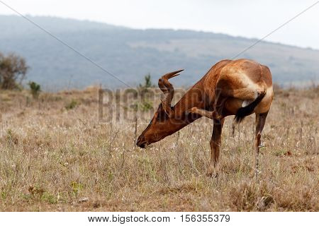 Court In The Act  - Red Hartebeest Scratching His Neck