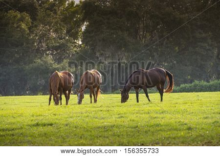Beautiful Florida Thoroughbred horses grazing in lush green sunlit pasture outdoors