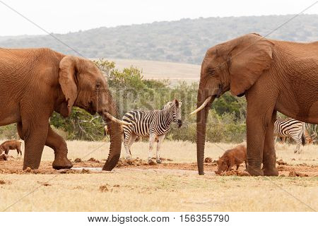 Bush Elephants Drinking Water With The Other Wild Animals Around Them