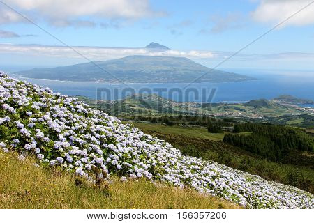Hortenzia bushes on Faial, the Azores. We were hiking with the view over the vulcano of Pico island.