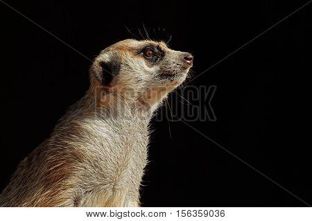 Portrait of an alert meerkat (Suricata suricatta) on black, South Africa