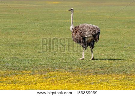 Female ostrich (Struthio camelus) in grassland with yellow wild flowers, South Africa