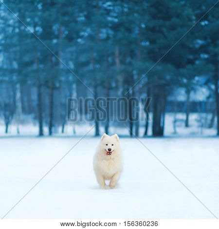 Joyful White Samoyed Dog Running On Snow At Winter Day Over Empty Copy Space Background Of Trees For