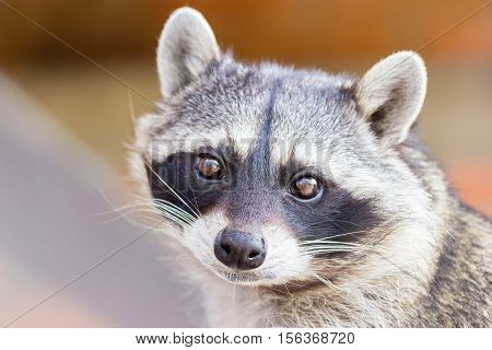 The raccoon, sometimes spelled racoon, also known as the common raccoon, North American raccoon, northern raccoon and colloquially as coon, is a medium-sized mammal native to North America.