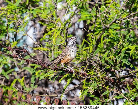 A conspicuous sight and sound of the Southwestern deserts, the Cactus Wren is the largest wren in North America. Although it can be found in backyards it is a true bird of the desert