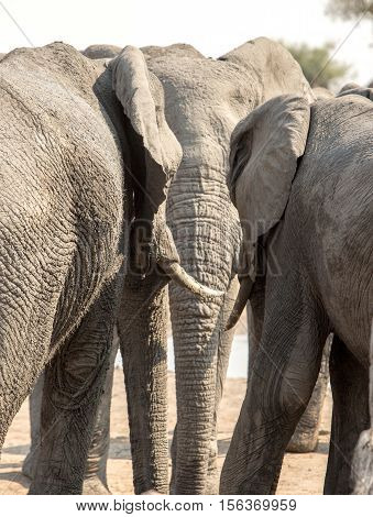 Portrait of an elephant trunk which is flanked on either side by another elephant as if in conversation