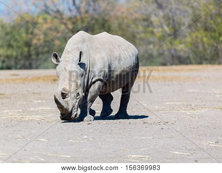 Rhinoceros are killed by humans for their horns, which are bought and sold on the black market, and which are used by some cultures for ornamental or traditional medicinal purposes. Now endangered.