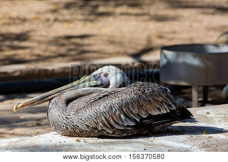 The brown pelican is a small pelican found in the Americas. It is one of the best known and most prominent birds found in the coastal areas of the southern and western United