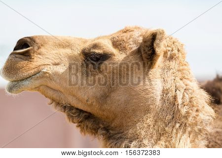 The ancient camel question is: One hump or two? Arabian camels, also known as dromedaries, have only one hump, but they employ it to great effect. The hump stores up to 80 pounds, 36 kilograms of fat