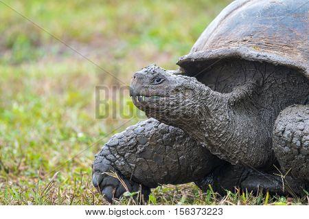 Galapagos giant turtle in El Chato Tortoise Reserve, Galapagos Islands, Ecuador