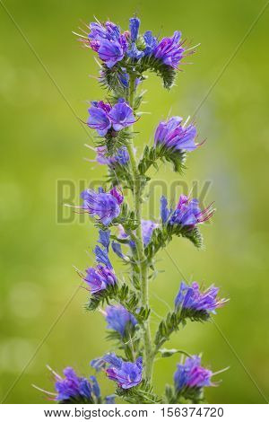 Echium vulgare (viper's bugloss blueweed) is a flowering plant in the borage family Boraginaceae. It is native to most of Europe western and central Asia and in north-eastern North America