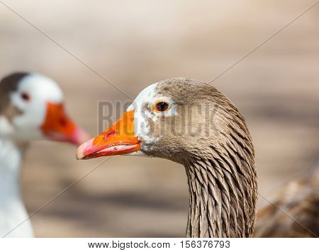 Pilgrim geese are a breed of domestic goose. The origins of this breed are unclear, but they are thought to be descended from stock in Europe, developed from American stock