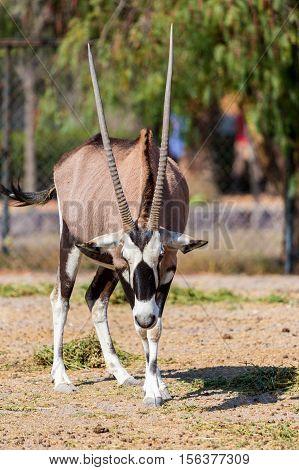 The gemsbok or gemsbuck is a large antelope in the Oryx genus. It is native to the arid regions of Southern Africa, such as the Kalahari Desert.