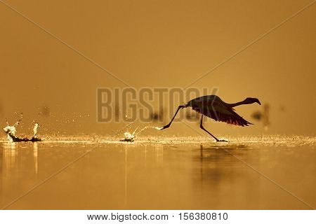 Lesser Flamingo photographed while takes off from a lake in Kenya at dawn